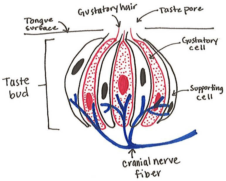 the anatomy of flavor decoding delicious : taste bud diagram - findchart.co