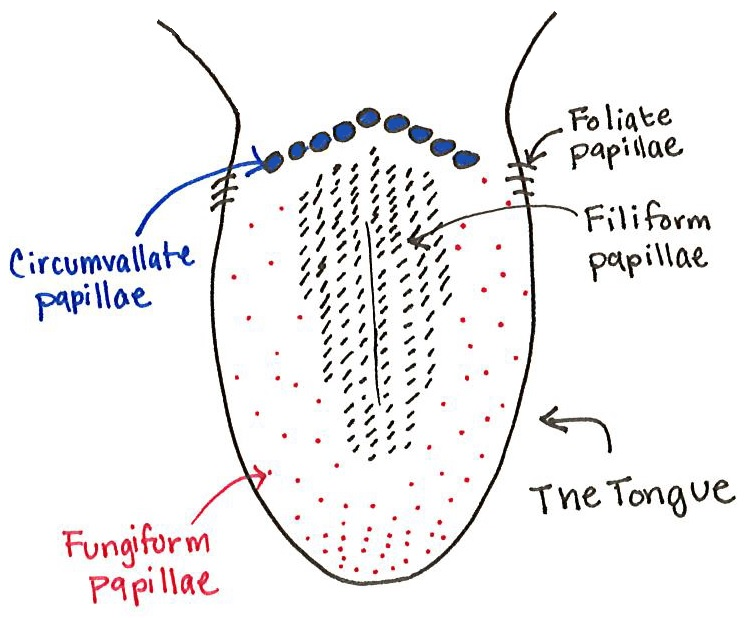 Tongue Papillae Diagram